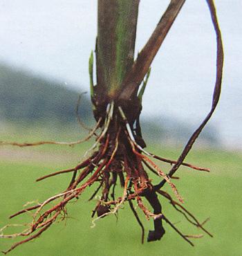 水稻根横切手绘